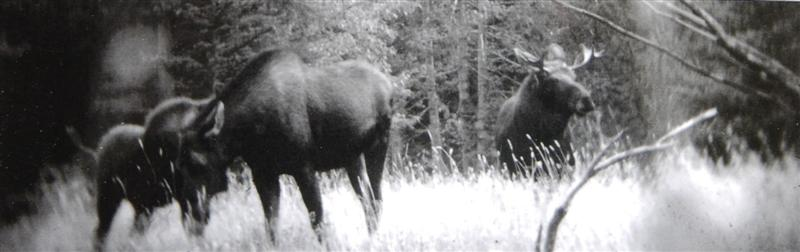 never_before_published_photographs_of_three_moose__4de5edbc1f