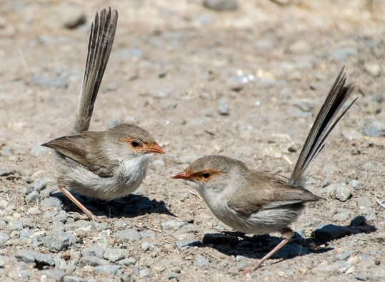 female fairy-wrens