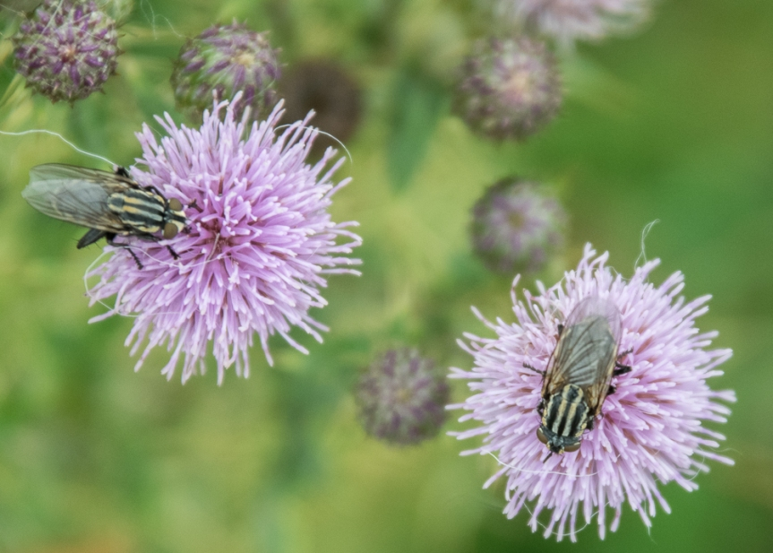 flies on thistles