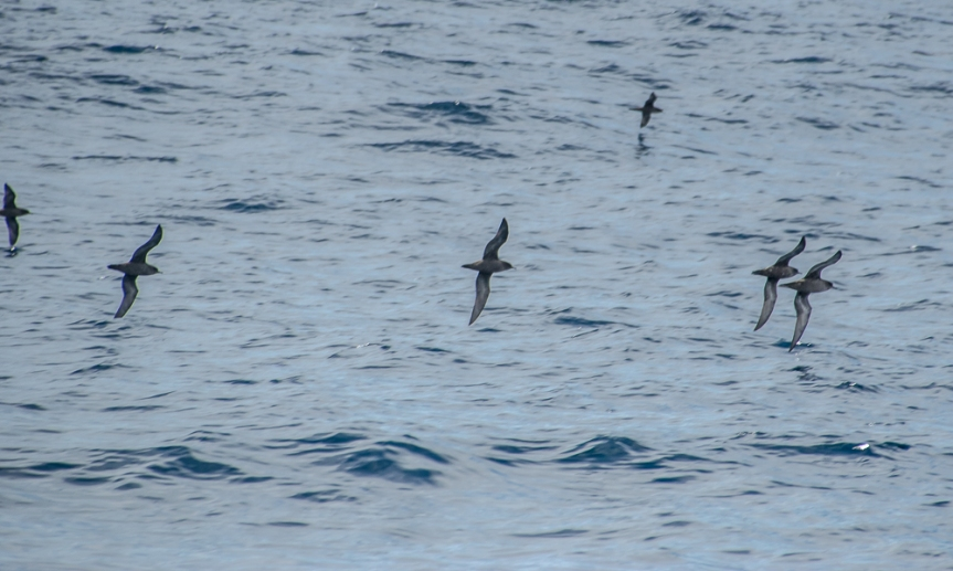 short-tailed shearwater Puffinus tenuirostris