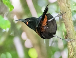 North Island saddleback, tieke, Philesturnus rufusater
