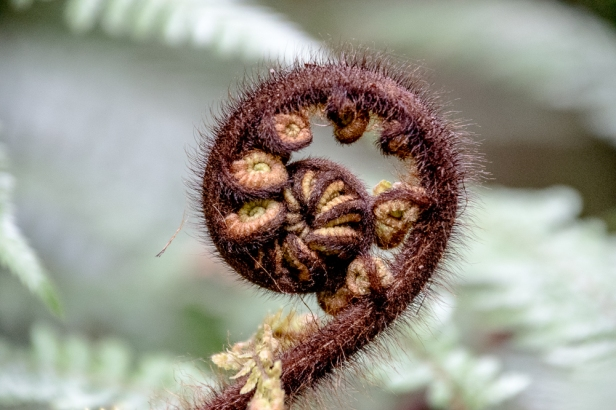 fiddlehead 2