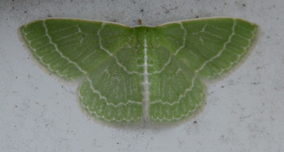 Wavy-lined emerald moth