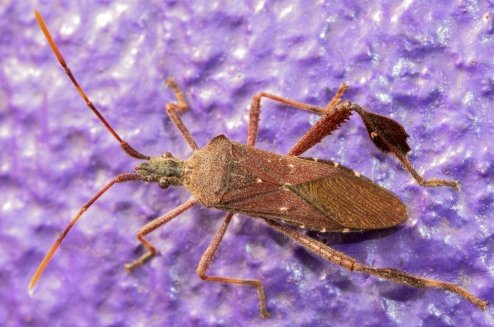 leaf-footed-bug
