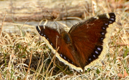 mourning-cloak-1