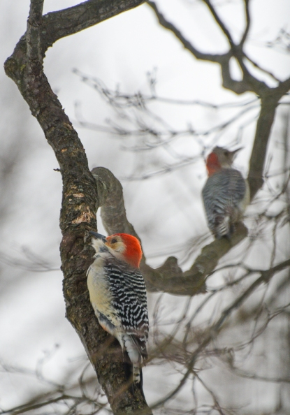 rb woodpeckers 1
