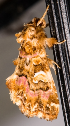 pink-shaded fern moth