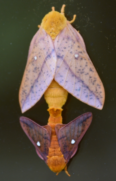 mating moths