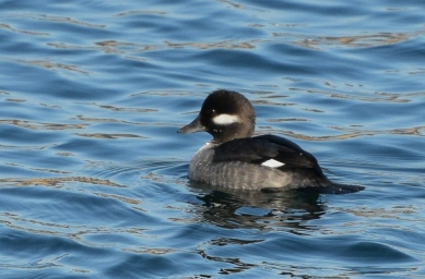 bufflehead female