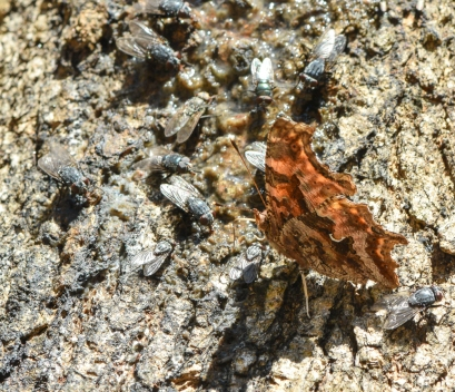 comma with flies