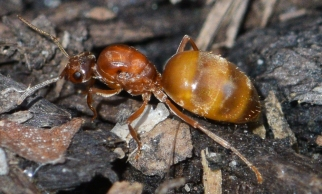 false honey ant2