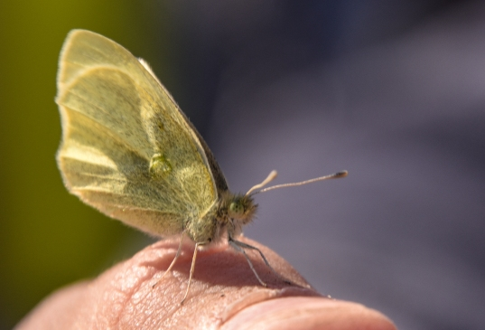 cabbage white 4