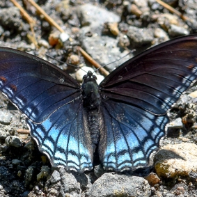 Red-spotted purple